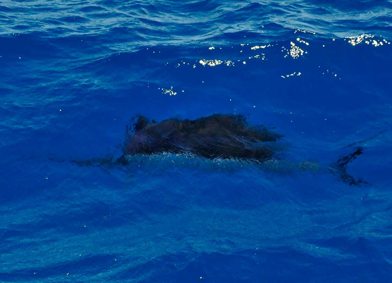 This Sailfish was caught while anchored fishing for yellowtail snapper on the reef.